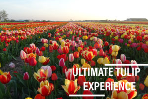 Ultimate Tulip Experience